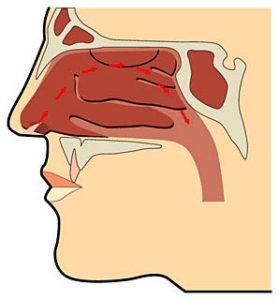 鼻から息の通り道