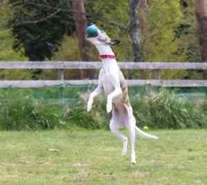 犬がボールをキャッチ