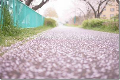 桜の花びらが散った道