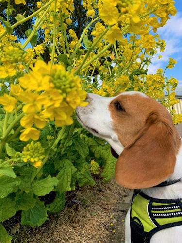 菜の花の香りを楽しむ犬