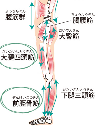 大腿四頭筋と前けい骨筋